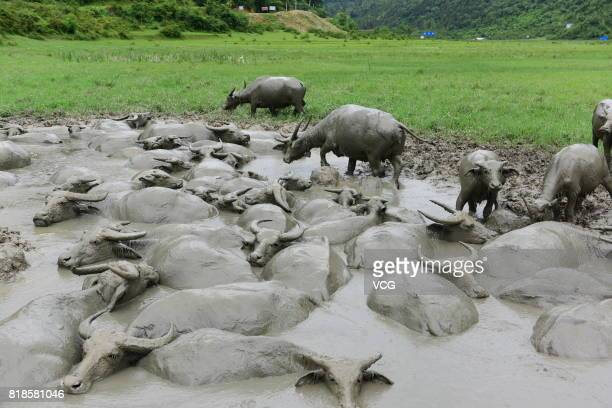 Water buffaloes wallow in a muddy pool on July 17 2017 in Enshi Tujia and Miao Autonomous Prefecture Hubei Province of China A herd of water...