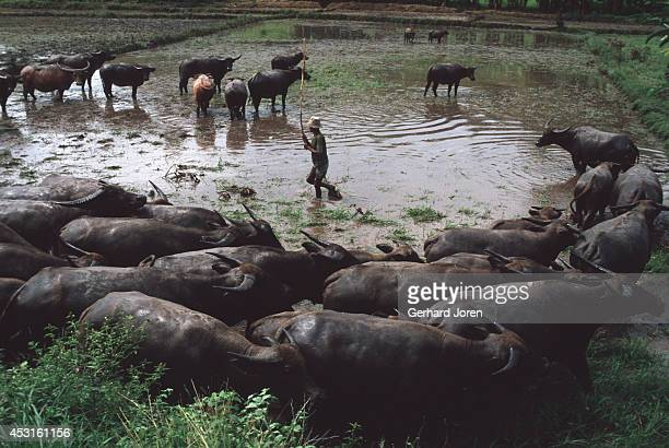 Water buffaloes work to prepare the soil of a rice paddy near Laga village 150 km east of the capital Dili Farmers borrow each other's buffaloes to...