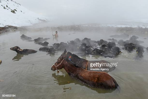 Water buffalos and horses are seen in a thermal spring at temperatures around 40 degrees centigrade in the village of Budakli in Guroymak district...