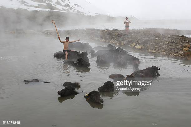 Water buffalos are seen in a thermal spring at temperatures around 40 degrees centigrade in the village of Budakli in Guroymak district Bitlis Turkey...