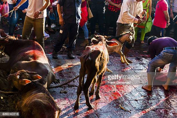 Water buffalos are tied up to be sacrificed soon to the gods at the Gorakhnath temple at the hinduist festival Darsain the floor is full of blood