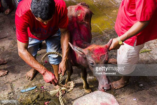 A water buffalos gets tied up to be sacrificed soon to the gods at the Gorakhnath temple at the hinduist festival Darsain