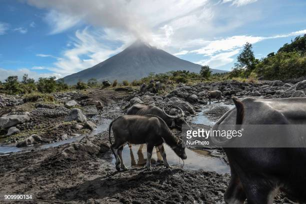 Water buffalos roam a swamp as Mount Mayon spews smoke as seen from Guinobatan Albay province Philippines January 25 2018 Mount Mayon the Philipines'...