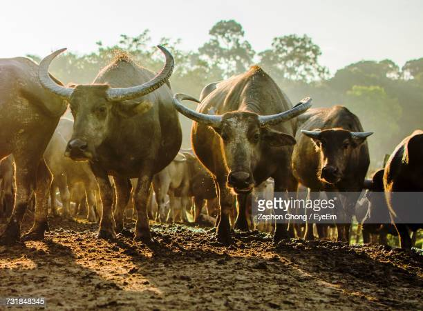 60 Top Water Buffalo Pictures, Photos and Images - Getty Images
