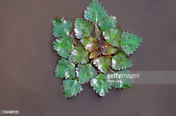 water chestnut, water caltrop (trapa natans), hortobagy ponds, hungary, europe - trapa stock pictures, royalty-free photos & images