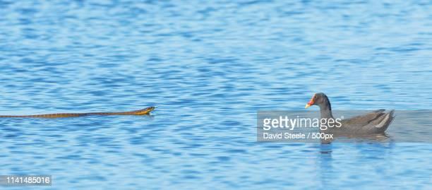 water confrontation of snake and bird - serpente tigre foto e immagini stock