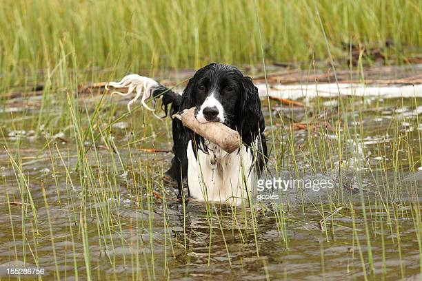 water dog training - english springer spaniel stock pictures, royalty-free photos & images