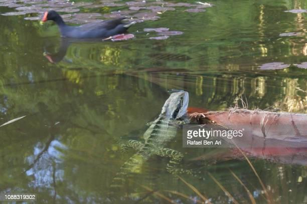 water dragon and swamphen in a pond in brisbane - rafael ben ari stock-fotos und bilder