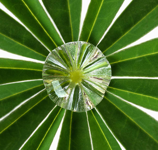 Water drop at centre of lupin leaf.