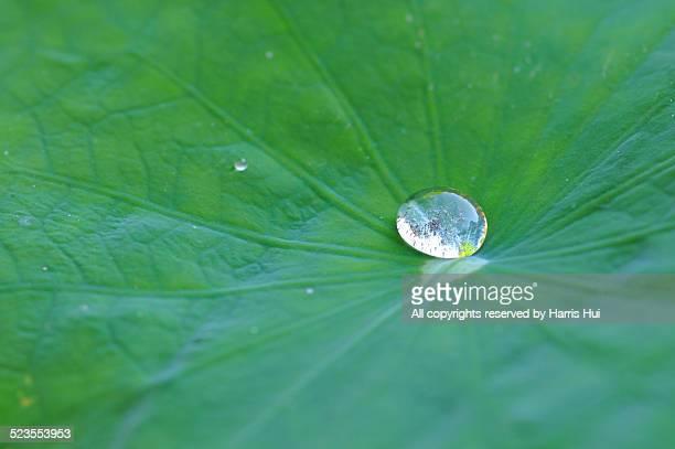 water drop on lotus leaf - buddhist temple - lily harris photos et images de collection