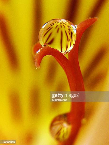 water drop - alstroemeria stock pictures, royalty-free photos & images