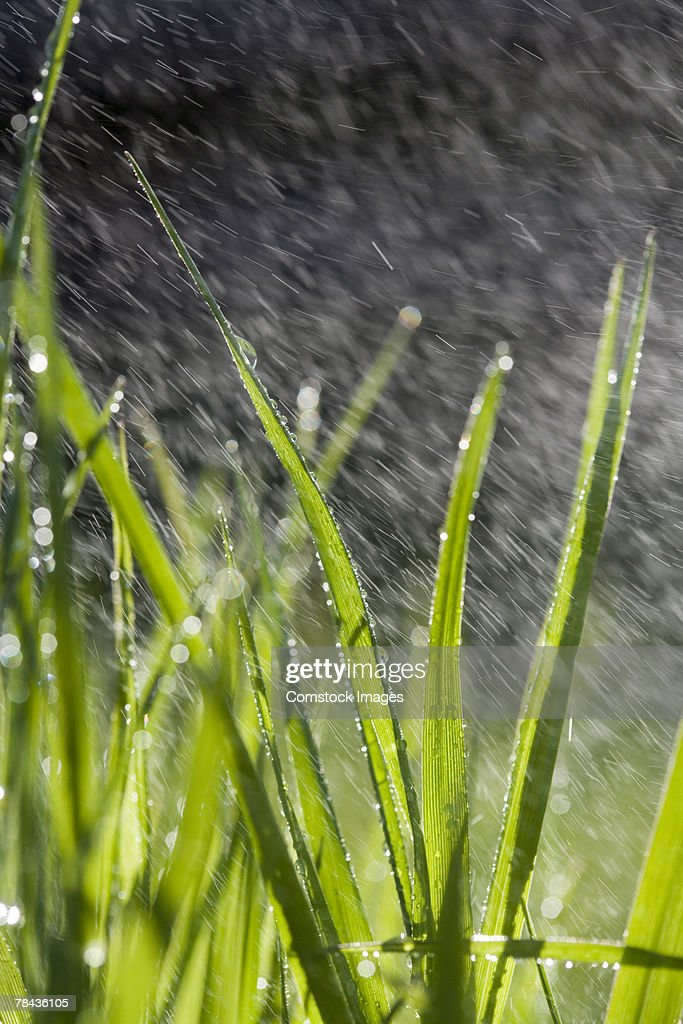 Water droplets and grass blades : Stockfoto