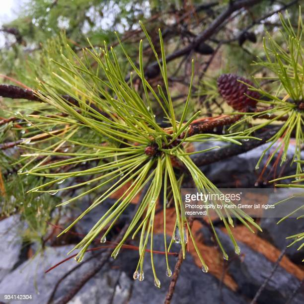 water droplets on an evergreen plant's pine needles  after a rainfall - needle plant part stock photos and pictures