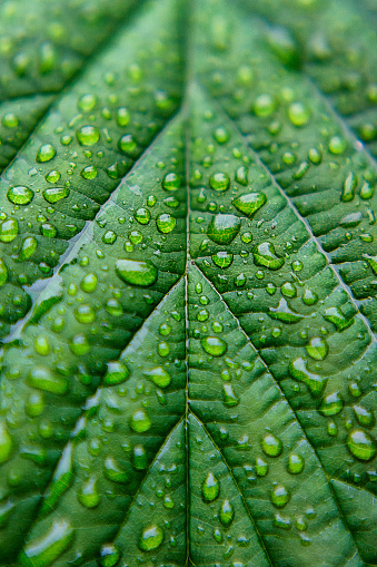 Water Droplets on Lush Green Leaf - gettyimageskorea