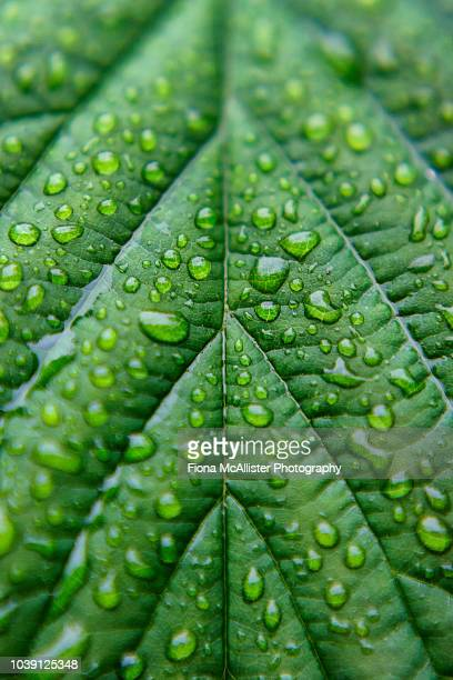 water droplets on lush green leaf - schöne natur stock-fotos und bilder