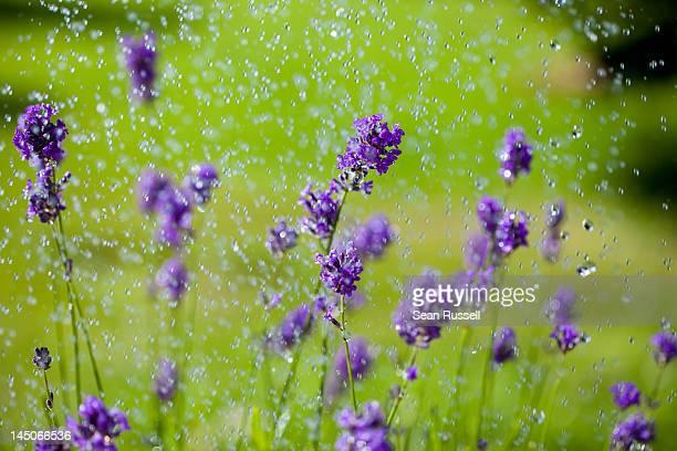 Water drops falling on lavender flowers