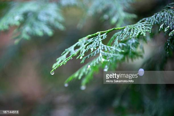 Water drops on cypress leaves