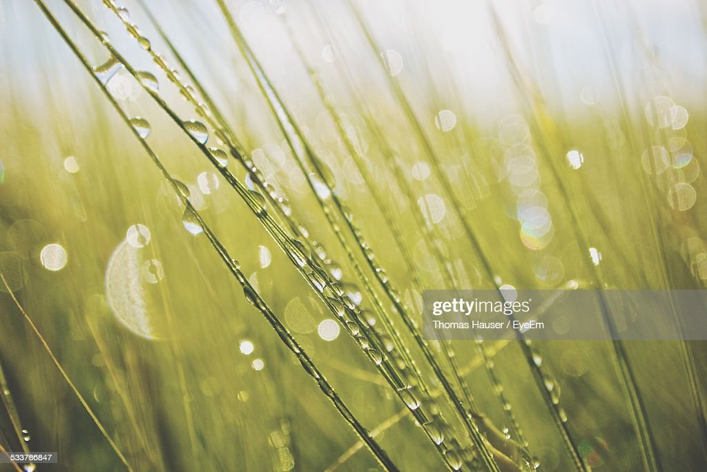 Water Drops On Grass Blades : Stock Photo