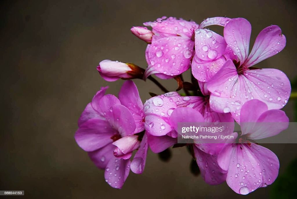 Water Drops On Pink Flowers Blooming Outdoors : Stock Photo