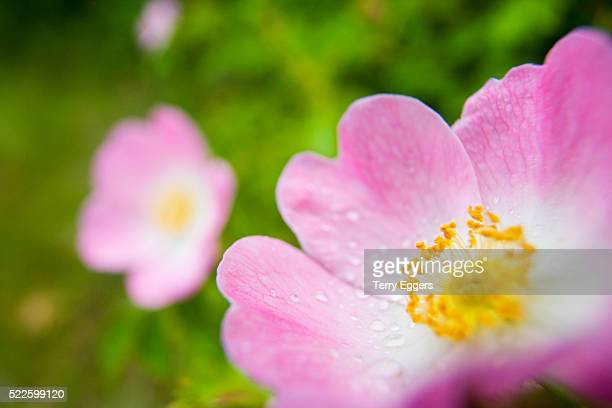 Water Drops on Pink Wild Rose