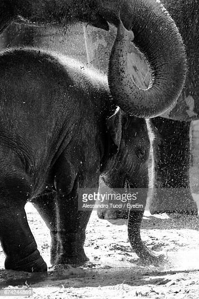 water falling on elephants and calf on field during sunny day - alessandro nasi foto e immagini stock