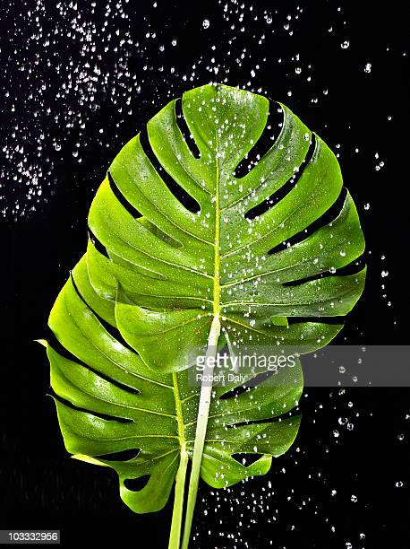 Water falling on green palm leaves
