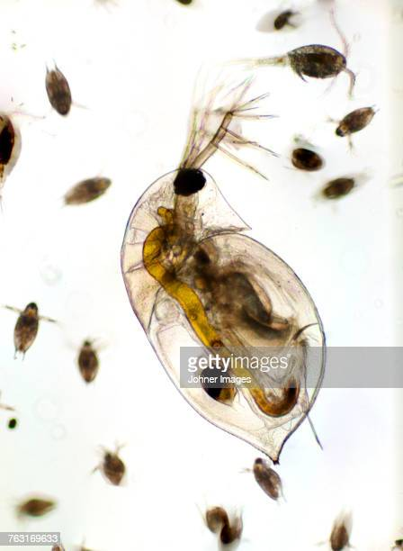 water flea - plankton stock pictures, royalty-free photos & images