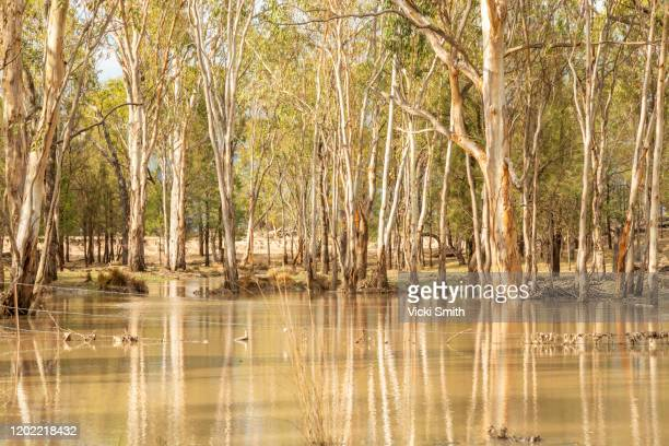 water flooding from a stream in among the trees with tree reflections on the water - floods and drought stock pictures, royalty-free photos & images