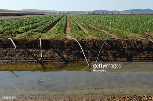 Water from the Ord River is siphoned from an irrigation channel onto a field of young sorghum on farmland operated by Kimberley Agricultural...