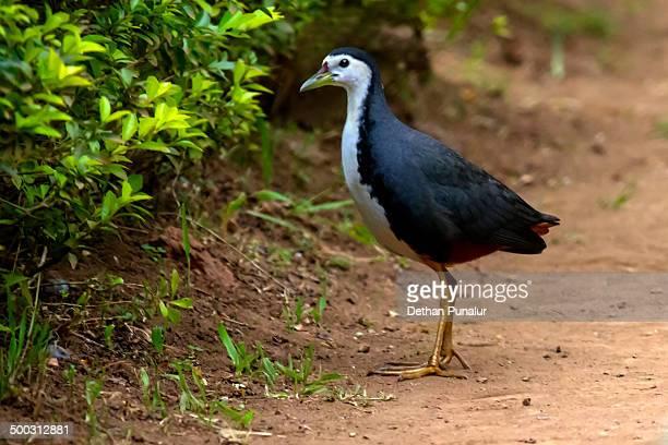 Water hen (Amaurornis phoenicurus)