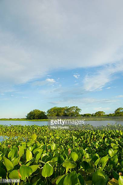 Water hyacinth (Eichornia crassipes) dominating water surface, Pantanal, Brazil