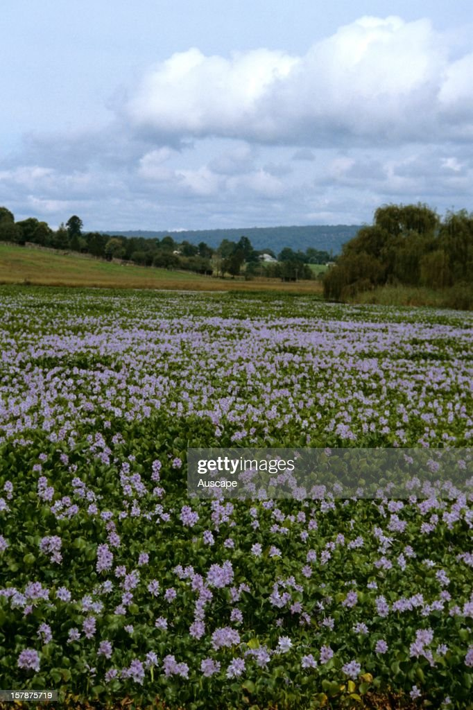 Water hyacinth pictures getty images water hyacinth eichhornia crassipes flowers an introduced aquatic perennial regarded as mightylinksfo