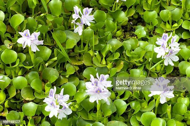 Water Hyacinth (Eichhornia cressipes)