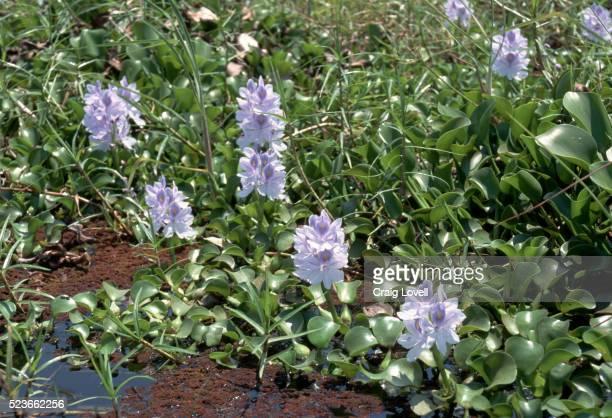 Water Hyacinths on Zambezi River