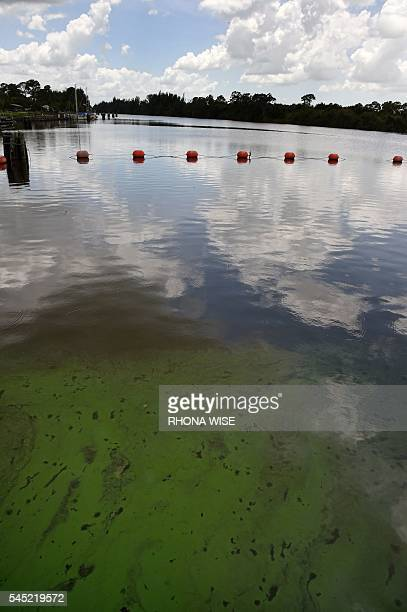 Water in the St Lucie River is covered by a bluegreen algae bloom plaguing the river as it accumulates at the St Lucie Lock and Dam in Port Saint...