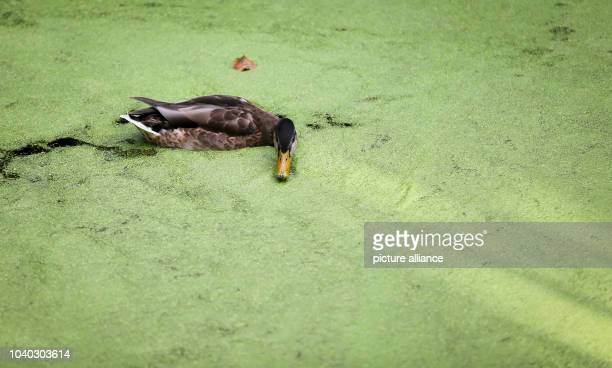 Water lentils also known as 'duckweed' cover a pond at 'Tiergarten' park in Berlin Germany 2 September 2015 A duck swims in the pond Photo Kay...