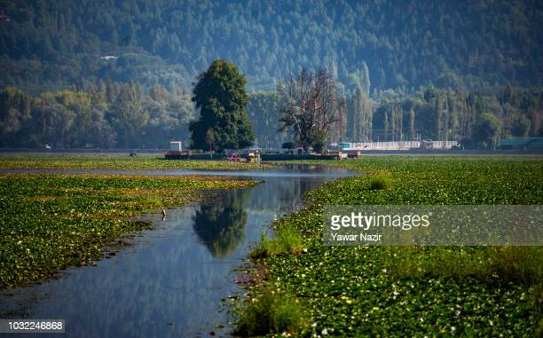Water lilies float on Dal lake on September 12 2018 in Srinagar the summer capital of Indian administered Kashmir India Kashmir the Muslim majority...