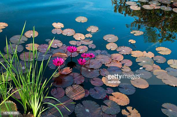 Water lilies floating on a lake with flowers on top
