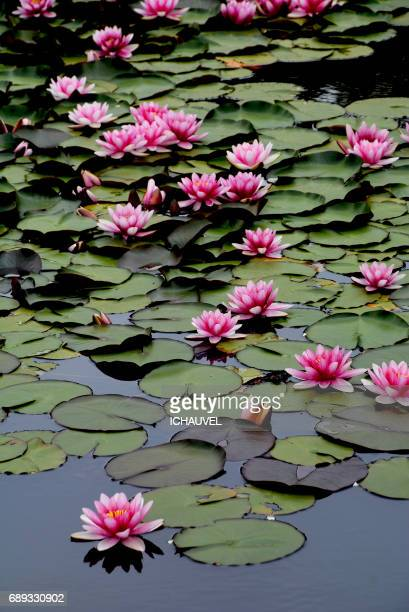 water lilies france - fleur flore stock pictures, royalty-free photos & images