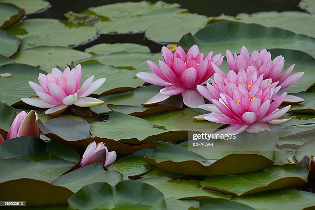 water lilies France : Stock Photo