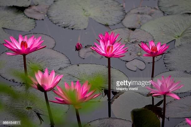 Water lilies in a lake near the National Memorial Monument in Savar Dhaka Bangladesh It is the national flower of Bangladesh