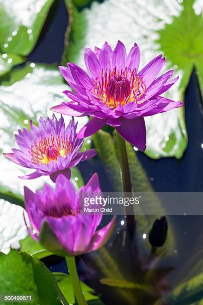 Water lilies in full flower