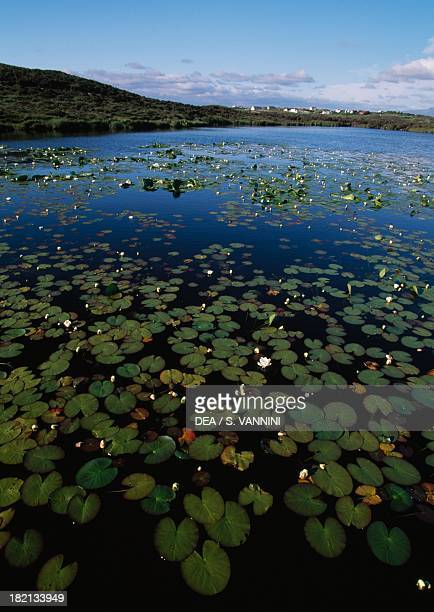 Water lilies Nymphaeaceae Lough Gall Achill Island County Mayo Ireland