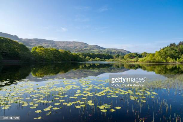water lilies on llyn tecwyn isaf, north wales, uk - snowdonia stock photos and pictures