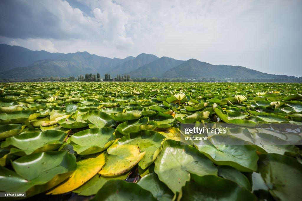 Water lilies on the Dal Lake, Kashmir. : Stock Photo