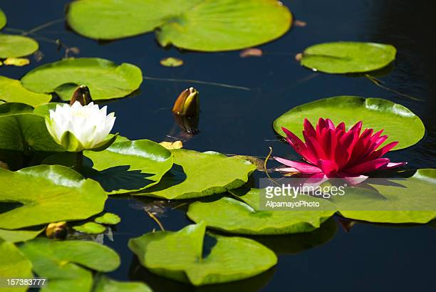 water lilies - water garden stock pictures, royalty-free photos & images