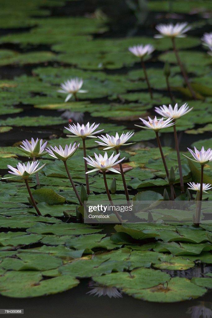 Water lilies : Stockfoto