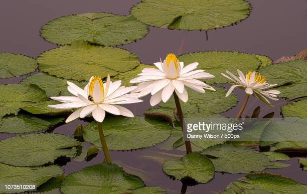 water lillies - lily wilson stock pictures, royalty-free photos & images