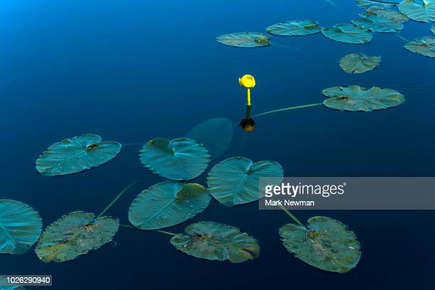 water lilly - mark's stock pictures, royalty-free photos & images