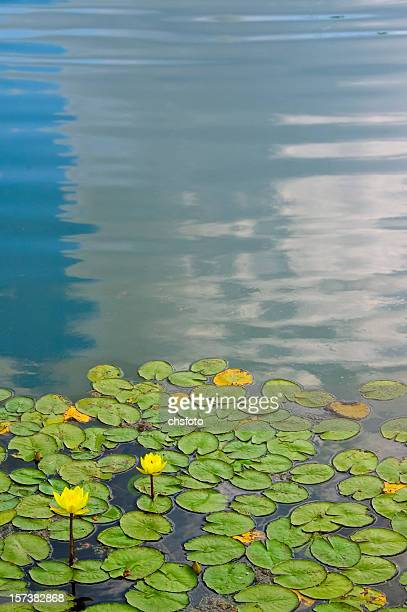 water lily abstract